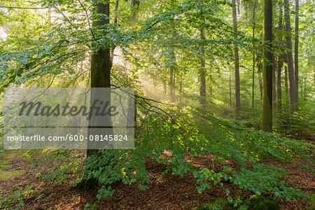 European Beech (Fagus sylvatica) Forest on Misty Morning, Spessart, Bavaria, Germany