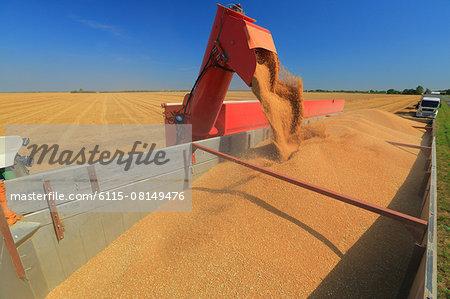 Combine harvester empties into a truck, Slavonia, Croatia