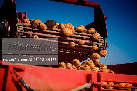 Harvesting raw potatoes, Slavonia, Croatia