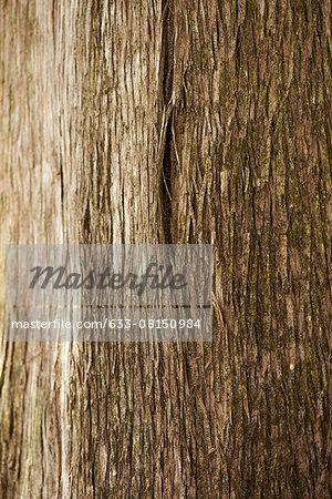 Cedar tree trunk, close-up