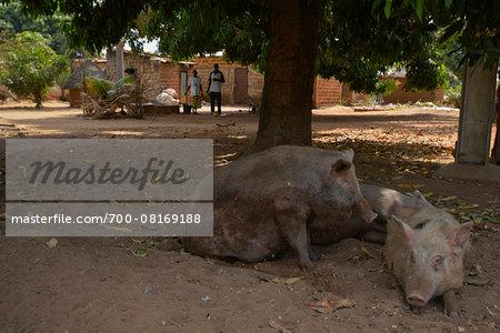 Two pigs lying on the gound in courtyard in village, Ecodougou, Burkina Faso