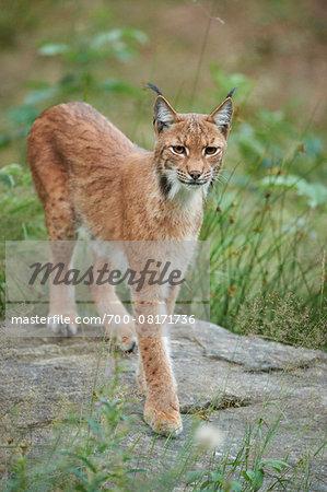 Portrait of Eurasian Lynx (Lynx lynx carpathicus) in Summer, Bavarian Forest National Park, Bavaria, Germany