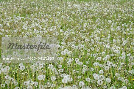 Dandelion (taraxacum officinale) seed heads (Dandelion clocks) in meadow. Bavaria, Germany.