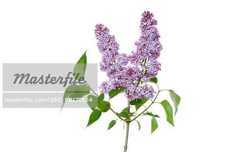 Close-up of Purple Lilac (syringa) flowers against white background, Gremany
