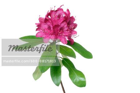 Pink Rhododendron, white background, studio shot on white background.