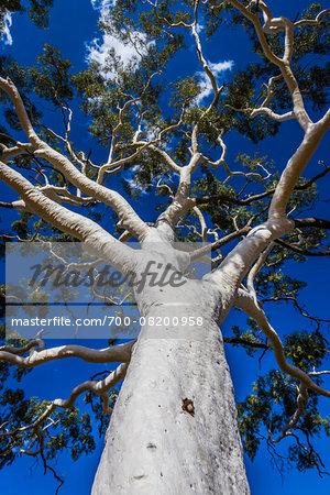 Ghost Gum Tree, Trephina Gorge, Trephina Nature Park, East Macdonnell Ranges, Northern Territory, Australia