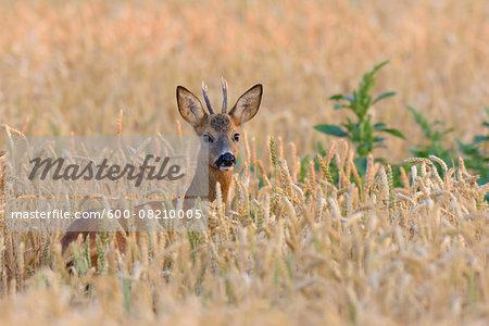 European Roebuck (Capreolus capreolus) in Wheat Field, Hesse, Germany