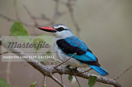 Woodland kingfisher (Halcyon senegalensis), Kruger National Park, South Africa, Africa