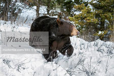 Black bear (Ursus Americanus), Montana, United States of America, North America