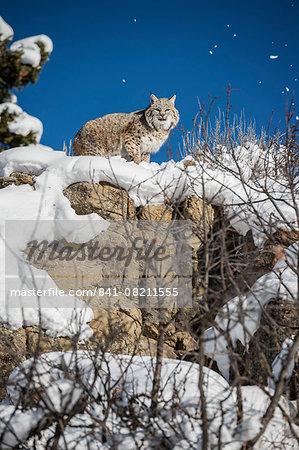 Bobcat (Lynx rufus), Montana, United States of America, North America