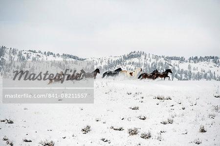 Herd of horses (Equus ferus caballus), Montana, United States of America, North America