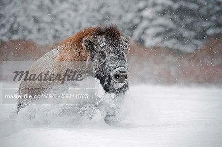 American bison (American buffalo) (Bison bison), Montana, United States of America, North America