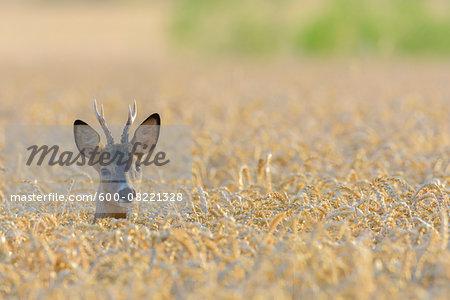 Western Roe Deer (Capreolus capreolus) in Field of Grain, Roebuck, Hesse, Germany, Europe