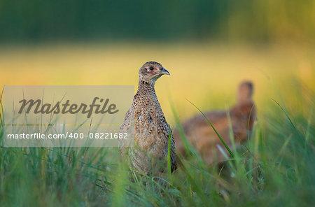 Photo of female pheasant in a grass