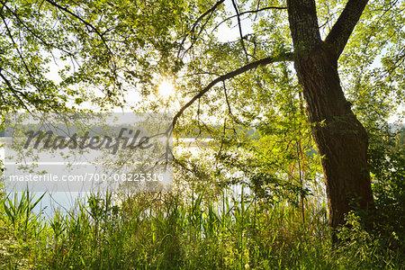 Sun shining through Tree on the Shoreline of a Lake, Niedernberg, Miltenberg-District, Churfranken, Franconia, Bavaria, Germany