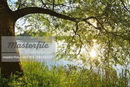 Sun Shines through Tree on the Shoreline of a Lake, Niedernberg, Miltenberg-District, Churfranken, Franconia, Bavaria, Germany