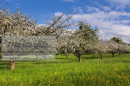 White blossom of apple trees in springtime, Bavaria, Germany