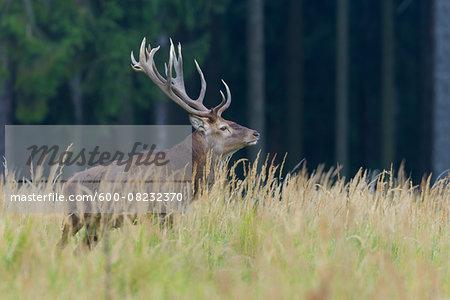 Male Red Deer (Cervus elaphus) in Autumn, Germany