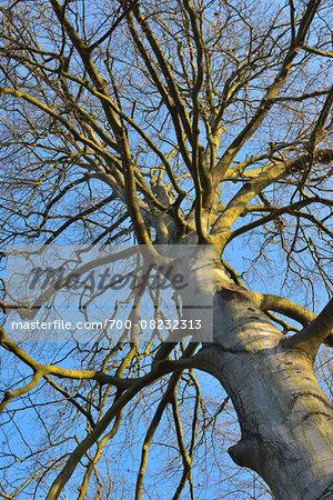 Looking up at Bare Beech Tree, Kleinheubach, Churfranken, Spessart, Bavaria, Germany
