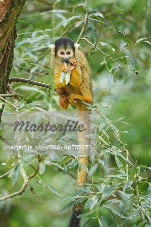 Portrait of Common Squirrel Monkey (Saimiri sciureus) in Tree in Late Summer, Germany