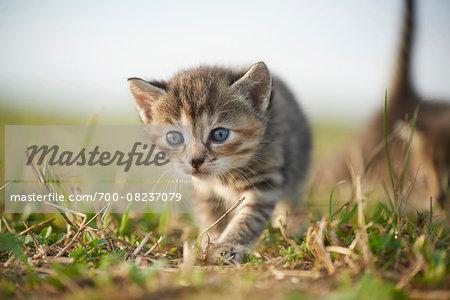 Five Week Old Domestic Kitten (Felis silvestris catus) on Meadow in Late Summer, Upper Palatinate, Bavaria, Germany