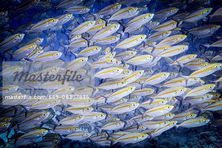 Underwater view of school of double-lined fusileers (pterocaesio digramma), Lombok, Indonesia