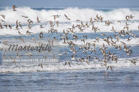A flock of migrating sanderlings (Calidris alba) taking flight on Sand Dollar Beach, Baja California Sur, Mexico, North America