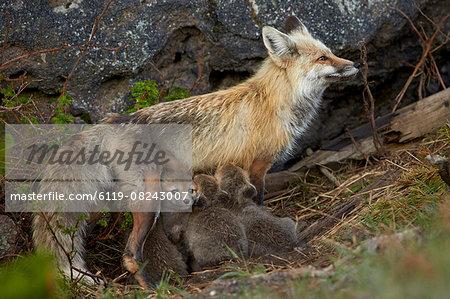 Red fox (Vulpes vulpes) (Vulpes fulva) vixen nursing her kits, Yellowstone National Park, Wyoming, United States of America, North America