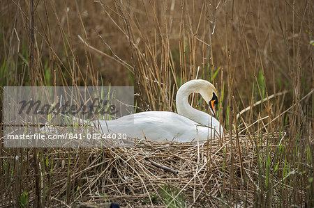 Swan (Cygnus), Gloucestershire, England, United Kingdom, Europe