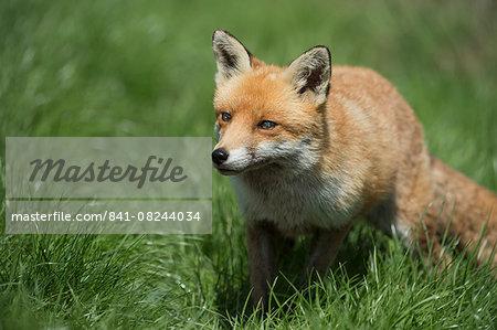 Red fox (Vulpes vulpes), Devon, England, United Kingdom, Europe