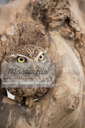 Little owl (Athene noctua), Devon, England, United Kingdom, Europe