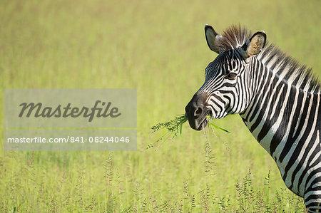 Crawshays zebra (Equus quagga crawshayi), South Luangwa National Park, Zambia, Africa
