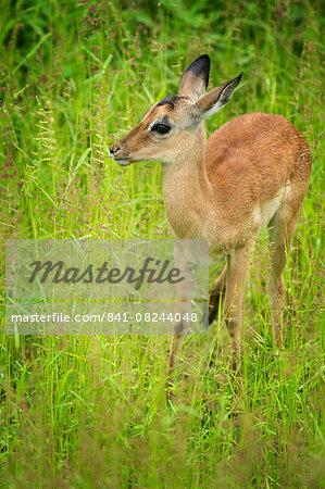 Female impala (Aepyceros melampus), South Luangwa National Park, Zambia, Africa