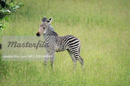Crawshays zebra foal (Equus quagga crawshayi), South Luangwa National Park, Zambia, Africa