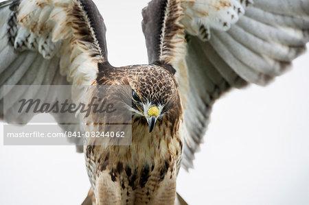 Red-tailed hawk (Buteo jamaicensis), bird of prey, England, United Kingdom, Europe
