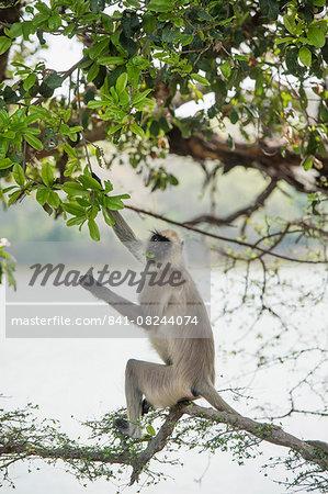 Gray langurs (Hanuman langurs) (langur monkey) (Semnopithecus entellus), Ranthambhore, Rajasthan, India, Asia