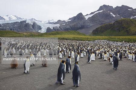 King penguin colony (Aptenodytes patagonicus), Gold Harbour, South Georgia, Antarctic, Polar Regions