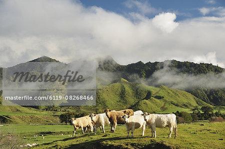 Cows and farmland, near Matawai, Gisborne, North Island, New Zealand, Pacific