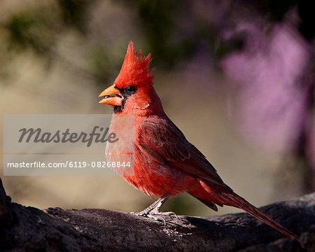 Male Northern cardinal (Cardinalis cardinalis), Chiricahuas, Coronado National Forest, Arizona, United States of America, North America