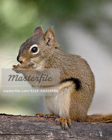 Red squirrel (spruce squirrel) (Tamiasciurus hudsonicus), Wasilla, Alaska, United States of America, North America