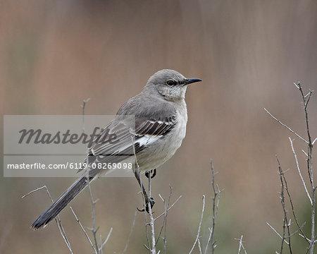 Northern mockingbird (Mimus polyglottos), San Jacinto Wildlife Area, California, United States of America, North America