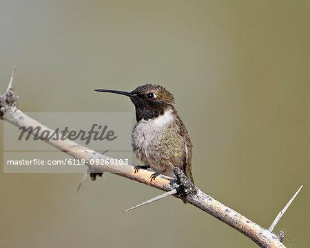 Black-chinned hummingbird (Archilochus alexandri), Sweetwater Wetlands, Tucson, Arizona, United States of America, North America