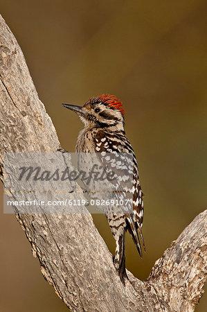 Male ladder-backed woodpecker (Picoides scalaris), The Pond, Amado, Arizona, United States of America, North America