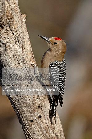 Male gila woodpecker (Melanerpes uropygialis), The Pond, Amado, Arizona, United States of America, North America