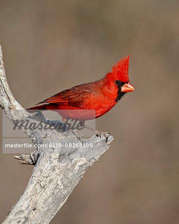 Male northern cardinal (Cardinalis cardinalis), The Pond, Amado, Arizona, United States of America, North America