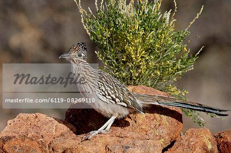Greater roadrunner (Geococcyx californianus), The Pond, Amado, Arizona, United States of America, North America
