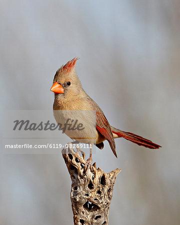 Female northern cardinal (Cardinalis cardinalis), The Pond, Amado, Arizona, United States of America, North America