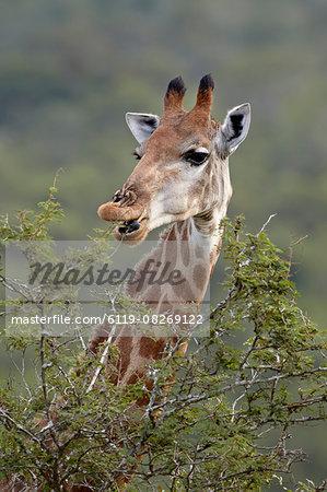 Cape giraffe (Giraffa camelopardalis giraffa) eating, Hluhluwe Game Reserve, South Africa, Africa