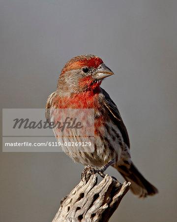 Male house finch (Carpodacus mexicanus), The Pond, Amado, Arizona, United States of America, North America