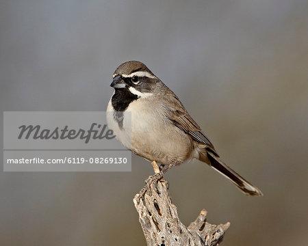 Black-throated sparrow (Amphispiza bilineata), The Pond, Amado, Arizona, United States of America, North America